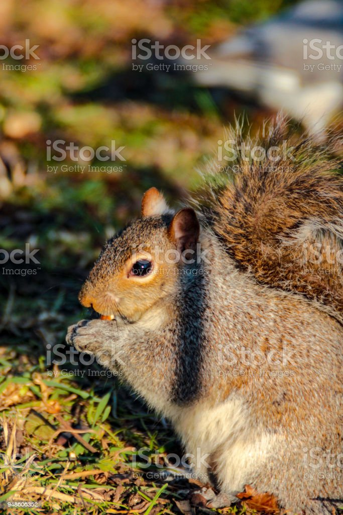 little squirrel in Hyde Park stock photo