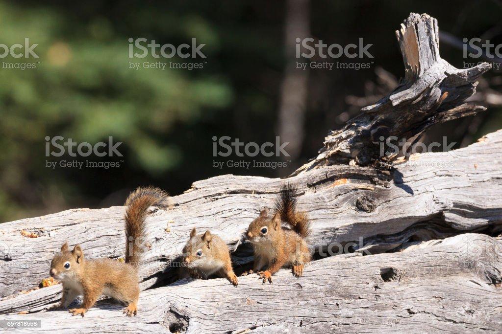 Mininos de lince en la madera - foto de stock