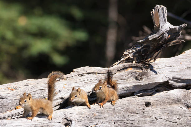 little squirrels on wood - squirrel stock photos and pictures