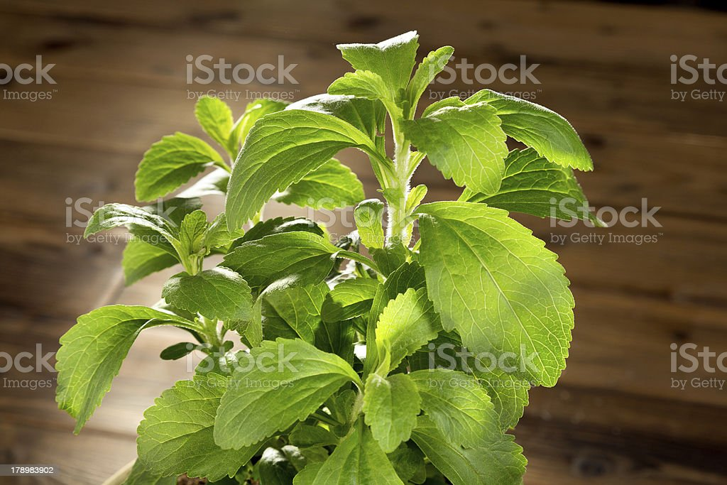Little stevia plant royalty-free stock photo
