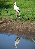 a little stork stands by the river and is reflected in the water
