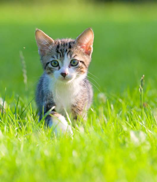 Little striped kitten hiding in the grass picture id857125854?b=1&k=6&m=857125854&s=612x612&w=0&h=sdyos3jaogqcyucfqspegnotqz0vsjsdsd3wxs2pawk=