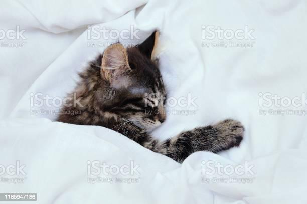 Little striped kitten is sleeping under a white blanket closeup picture id1185947186?b=1&k=6&m=1185947186&s=612x612&h=akalzai6wy9d3stdo5cswcfvxtt4mymjazemulzxz m=