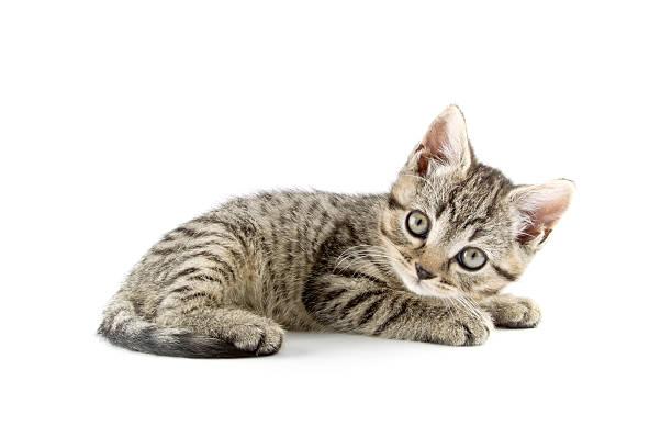 Little striped kitten picture id185229967?b=1&k=6&m=185229967&s=612x612&w=0&h=wtgeopwn rq5ateezls9pbgnxoepew0sfanmo9fkana=