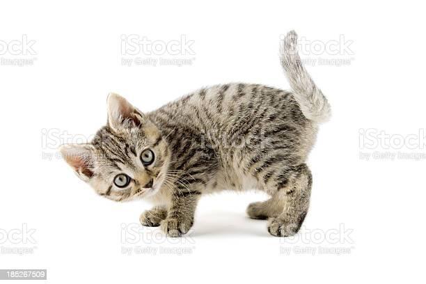 Little striped kitten picture id185267509?b=1&k=6&m=185267509&s=612x612&h=tr7rhx4s1cxnjxvioi mjadi2y7l 71eozt2nb8mobc=
