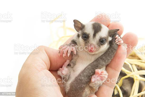 Little Sugarglider Rest In Hand On White Background Stock Photo - Download Image Now