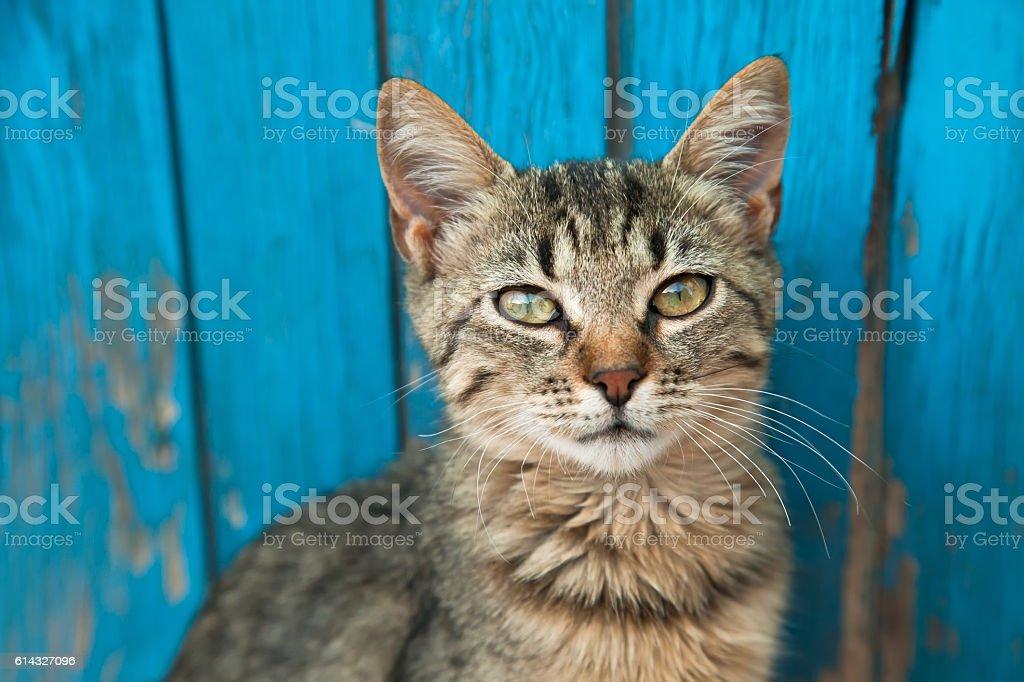 Little suspicious gray kitten portrait up with blue wooden backg stock photo