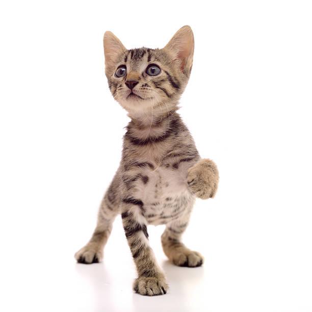 Little tabby cat picture id175587701?b=1&k=6&m=175587701&s=612x612&w=0&h=vvd4coyywwn0khcnnpardosbxa kbyjh9bwgv0p8nc8=