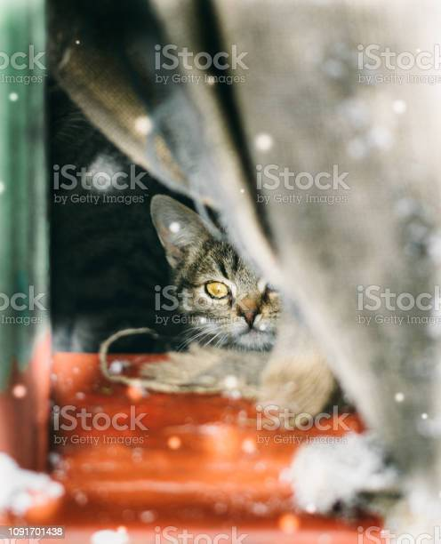Little tabby homeless kitten looks at falling snow picture id1091701438?b=1&k=6&m=1091701438&s=612x612&h=ezj0zy pyzh vvmrsv7w7u0iwv xezcqbxohafoqw7g=
