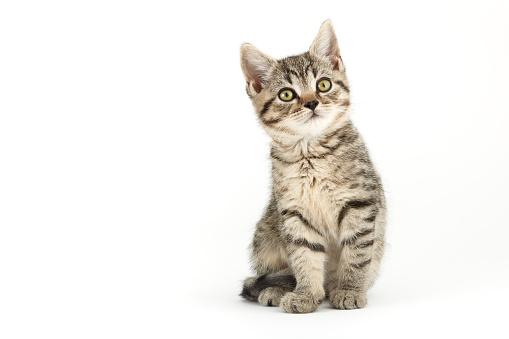 Little tabby (European Shorthair) kitten.