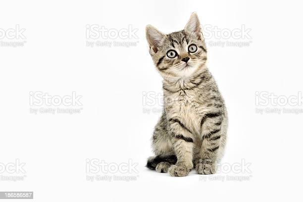 Little tabby kitten picture id186586587?b=1&k=6&m=186586587&s=612x612&h=mbasthzq 7aadfl0nn3envtdimjm ki2lozm1nqevfm=