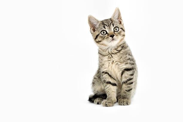 little tabby kitten - kitten stock photos and pictures
