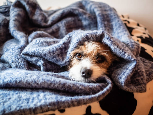 Little terrier dog wrapped in a blanket on a black white beanbag. Looking at the camera Mongrel dog, pet, animal, part-taking, blanket, winter, cozy, sleeping, taking a break, small, terrier wrapped in a blanket stock pictures, royalty-free photos & images