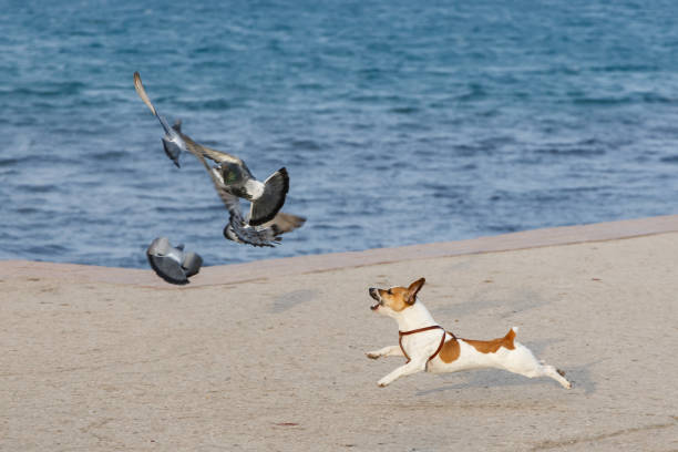 Little thoroughbred dog chasing pigeons on the seashore stock photo
