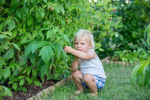 Little toddler boy, child, gathering raspberries