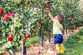 Little toddler boy picking up red apples in apple garden. Harvesting fruit. Autumn season lifestyle.