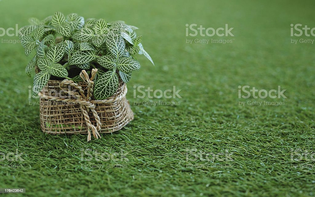 Little tree in basket on grass royalty-free stock photo
