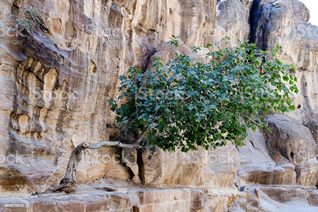 Little Tree of the Siq stock photo