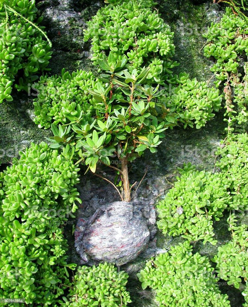 Plante Sur Les Murs photo libre de droit de petit arbre planté sur vert mur de