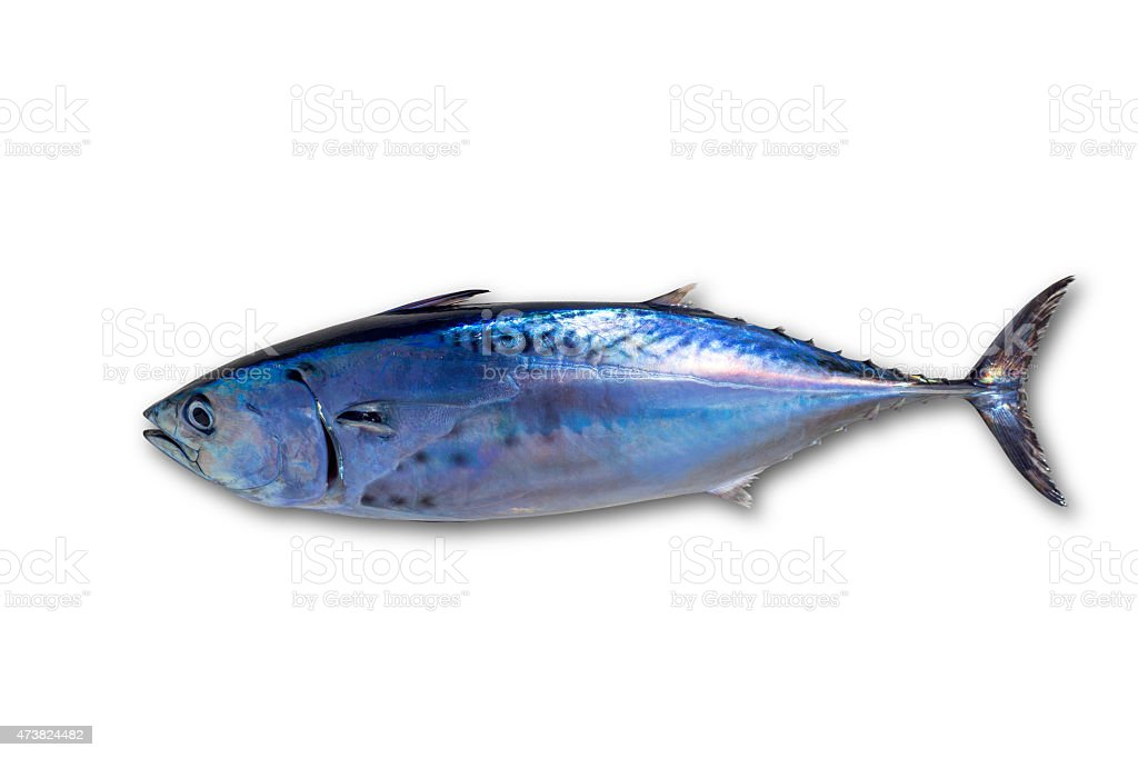 Little tunny tuna fish Euthynnus affinis on white stock photo