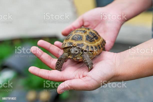 Little turtle in hands picture id585791802?b=1&k=6&m=585791802&s=612x612&h=p86guyel3xuwya mbmkdieqqhq8xqmxgk7zbk6xfxr0=