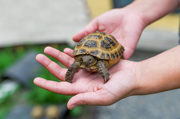 Little turtle in hands - Photo