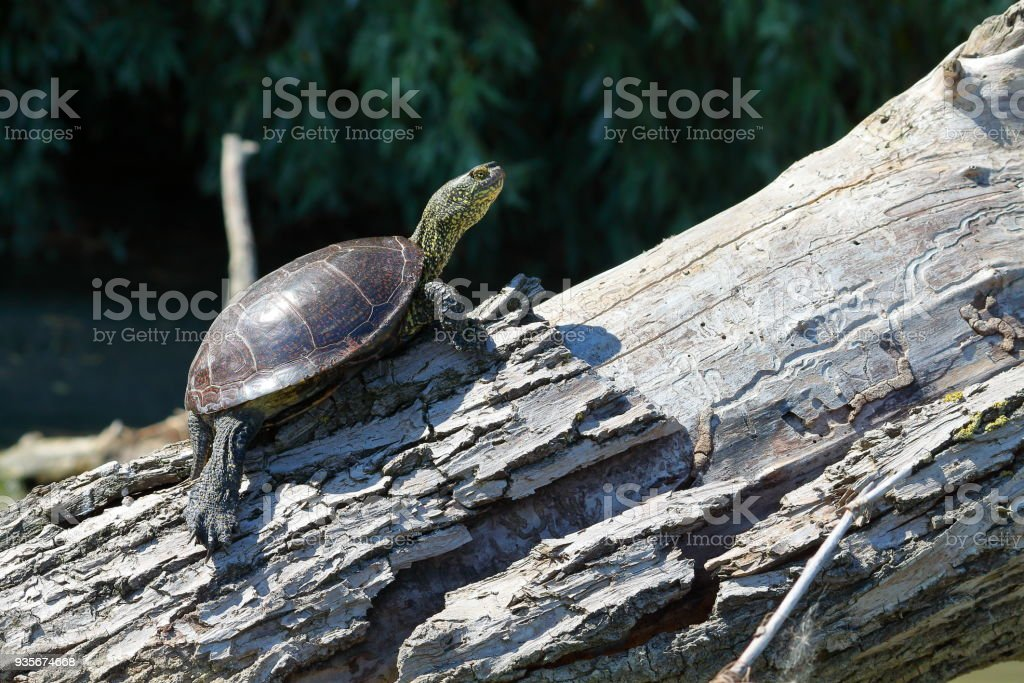 Little turtle on snag warms itself on summer sun and gets a lot of fun stock photo