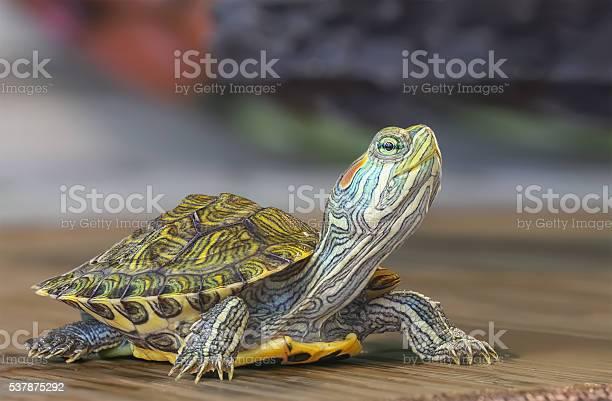 Little turtle picture id537875292?b=1&k=6&m=537875292&s=612x612&h=g0kp7jdnuse 5nz5dsgqp0nplpskuqx tu1ask7q6xc=