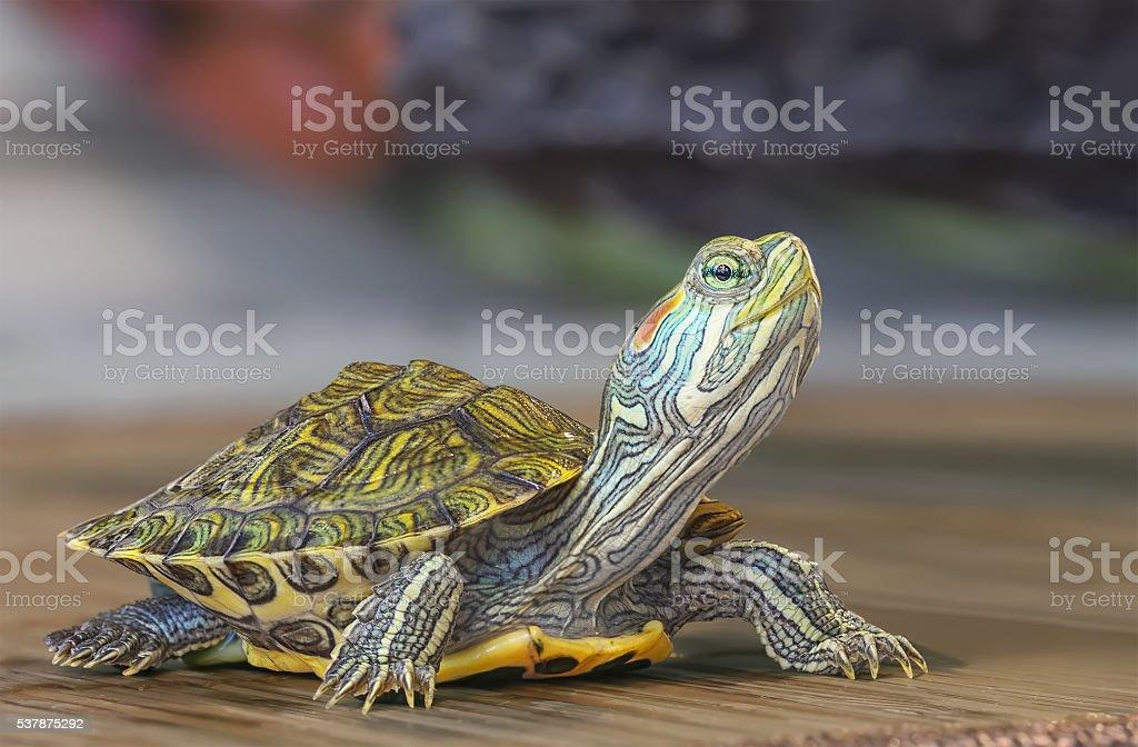 Little turtle. stock photo