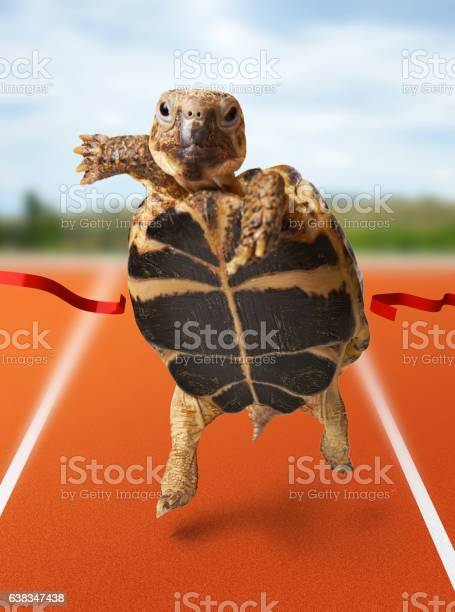 Little turtle runner wins by crossing the finish line picture id638347438?b=1&k=6&m=638347438&s=612x612&h=dchsasxzynmiu4ox36luoyxppe1moidaqcssoqi4gva=