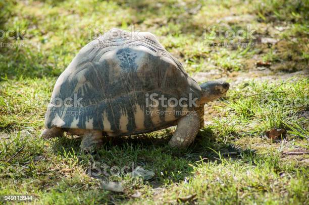 Little turtle walking in the grass picture id949113944?b=1&k=6&m=949113944&s=612x612&h= a7yqjfkreifssw37ix opzyiqxywtazbsd1z3frwre=