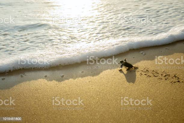 Little turtles crawling toward the sea picture id1015451800?b=1&k=6&m=1015451800&s=612x612&h=vjzuzuqh7anccp3ufm906yoy0jlbvv550aehbrwxrc0=