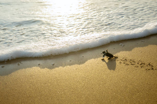 Little turtles crawling toward the sea stock photo
