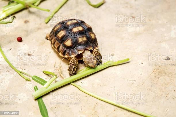 Little turtles picture id689524388?b=1&k=6&m=689524388&s=612x612&h=udnlan77wlblpslulkaofswoix shaxabxdcdpg9naw=