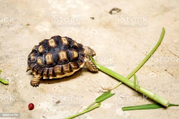 Little turtles picture id689524792?b=1&k=6&m=689524792&s=612x612&h=gxztwiks4ymqx27jbuagkjuacd8llkopagaf5ta uoq=
