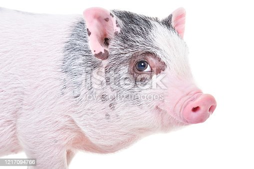 533229488 istock photo Little Vietnamese piggy, closeup, isolated on white background 1217094766