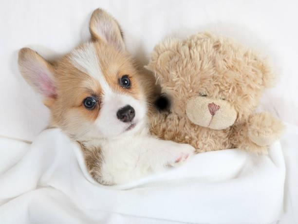 Perrito Corgi Galés Pembroke con su juguete del oso de peluche - foto de stock