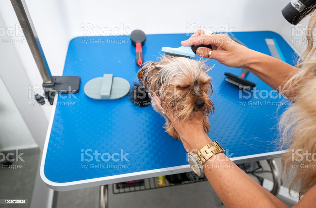 Little wet cute and beautiful purebred Yorkshire Terrier dog enjoying...