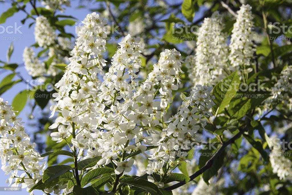 Kleine Weiße Blüten Stock-Fotografie und mehr Bilder von Baumblüte ...