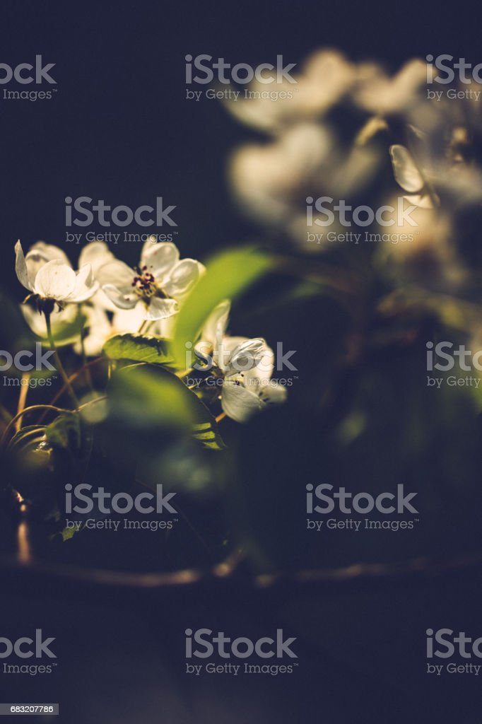 Little white cherry tree blossoms on a sunny spring day royalty-free 스톡 사진