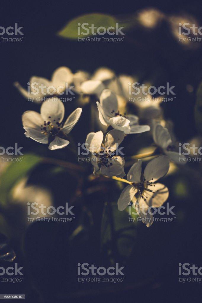 晴れた春の日に小さな白い桜の花 ロイヤリティフリーストックフォト