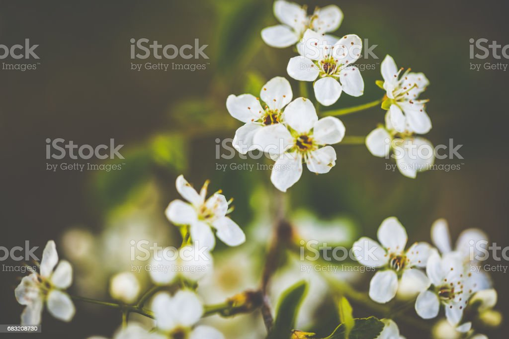 Little white cherry tree blossoms on a sunny spring day foto de stock royalty-free