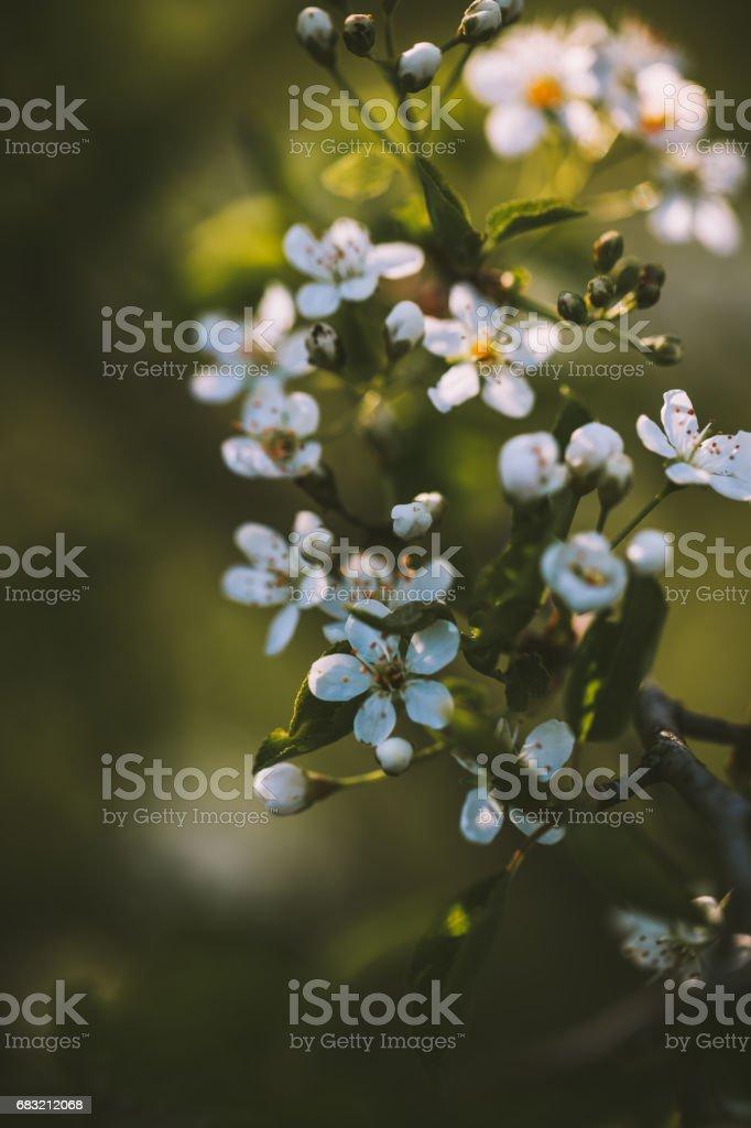 화창한 봄 날에 작은 흰 벚꽃 꽃 royalty-free 스톡 사진