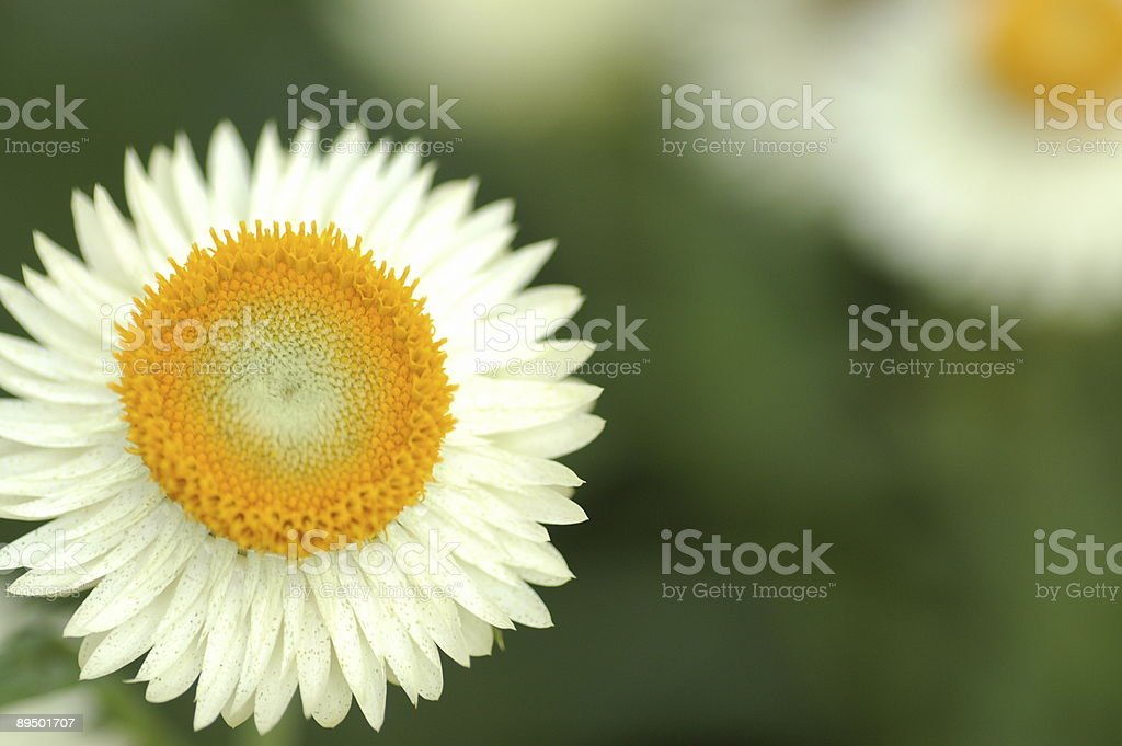 Little White Daisy royalty-free stock photo