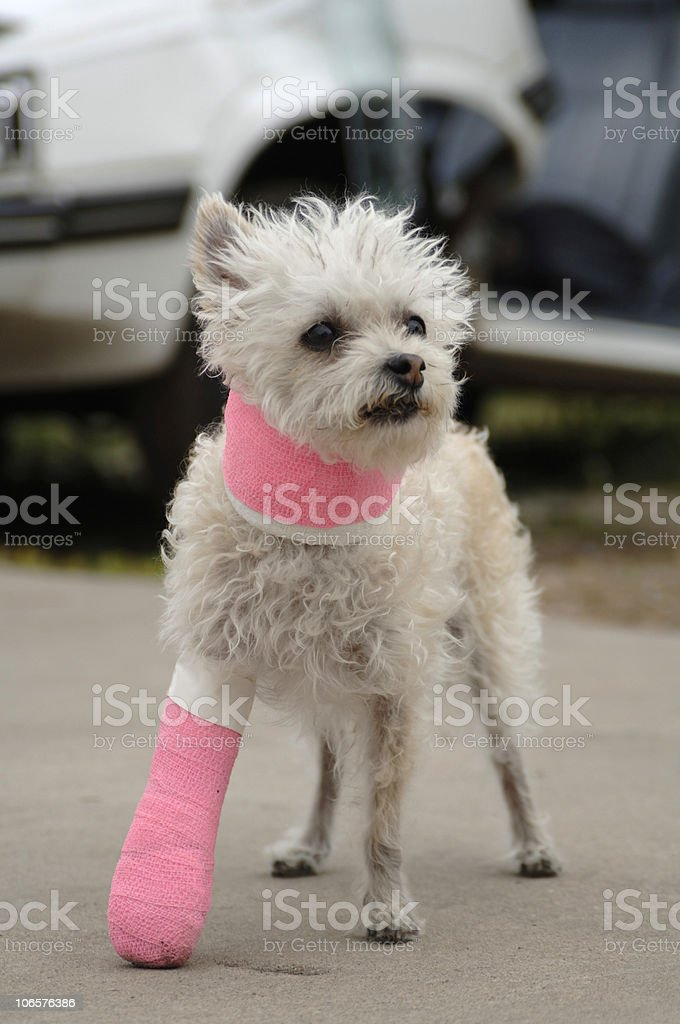 Little white dog in a cast royalty-free stock photo