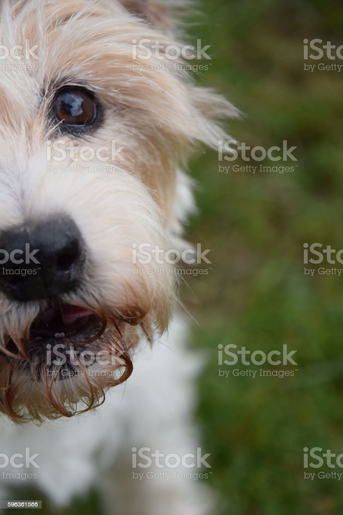 Little White Dog royalty-free stock photo