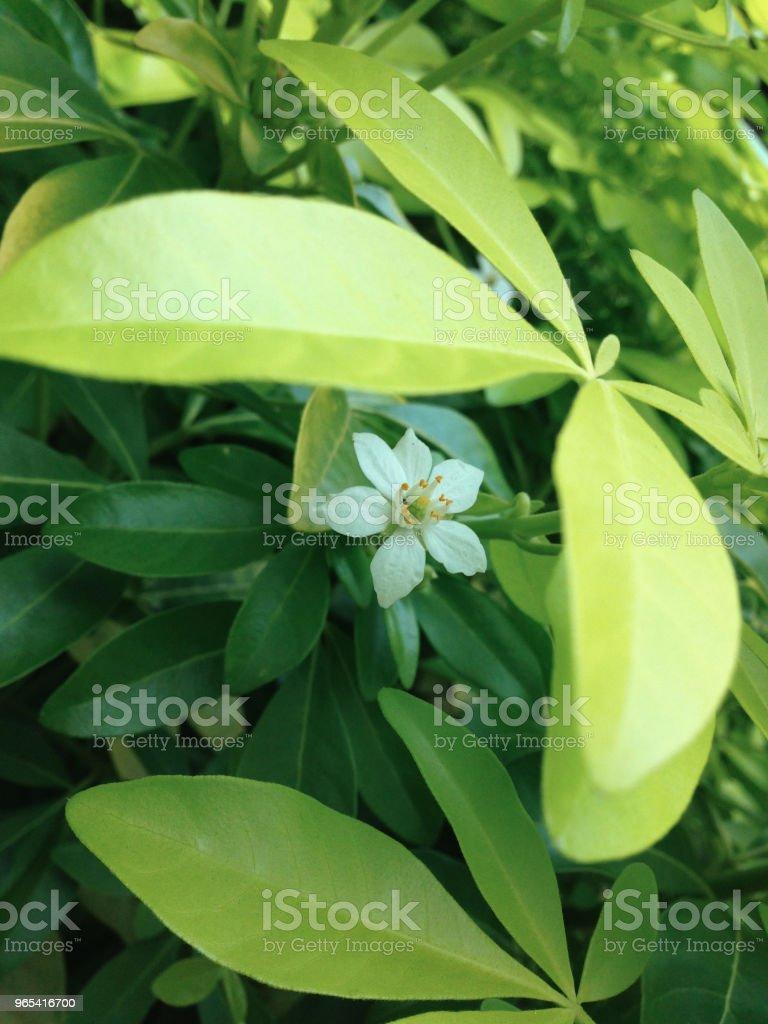 A little white flower zbiór zdjęć royalty-free