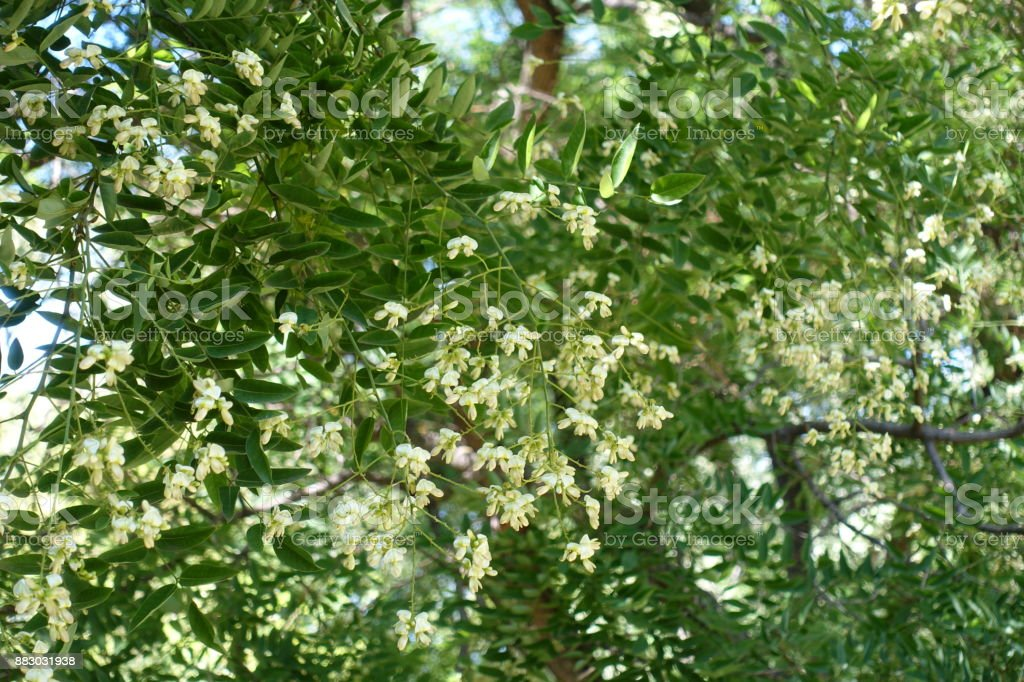 Little white flowers of sophora japonica tree stock photo more little white flowers of sophora japonica tree royalty free stock photo mightylinksfo
