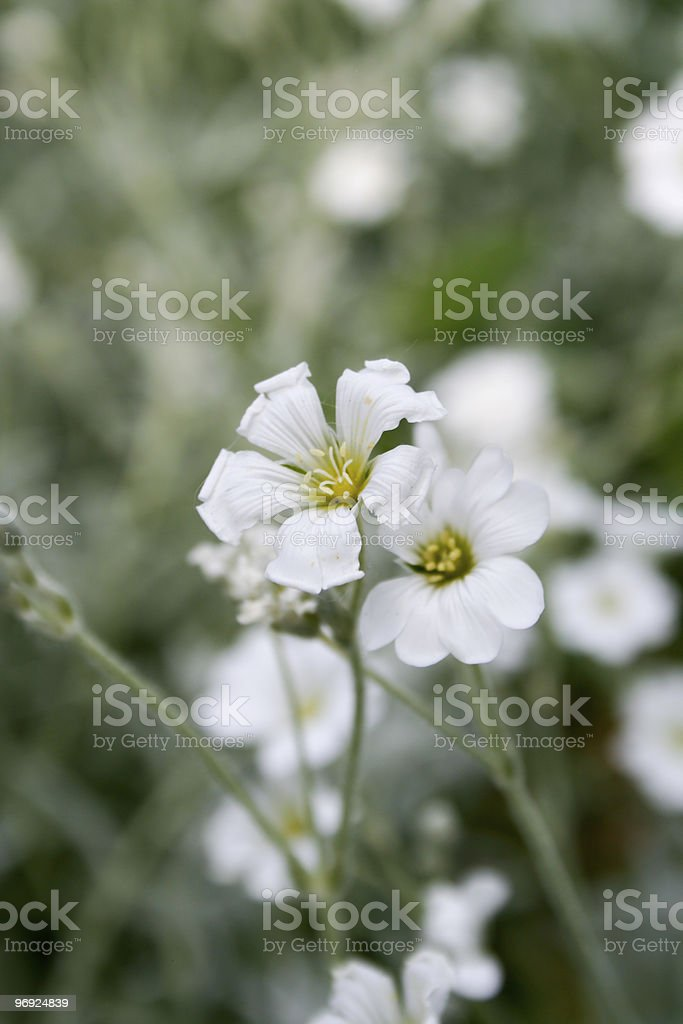 Little white flowers royalty-free stock photo