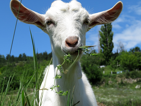 Little white goat eating grass in a summer green meadow